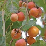 image of persimmon fruit in our garden at Cortijo Las Viñas