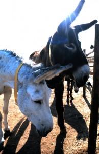 Donkey Santuary